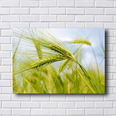 Quadro Colheita Do trigo
